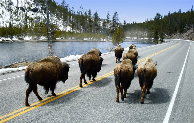 Bison, Yellowstone, USA
