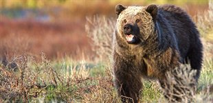 Grizzly bj�rn, Yellowstone, USA