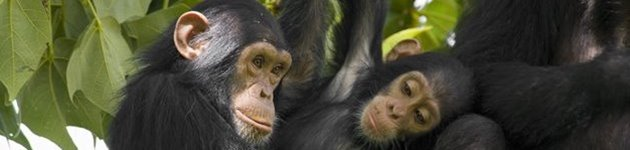 Chimpanserne i Kibale Nationalpark