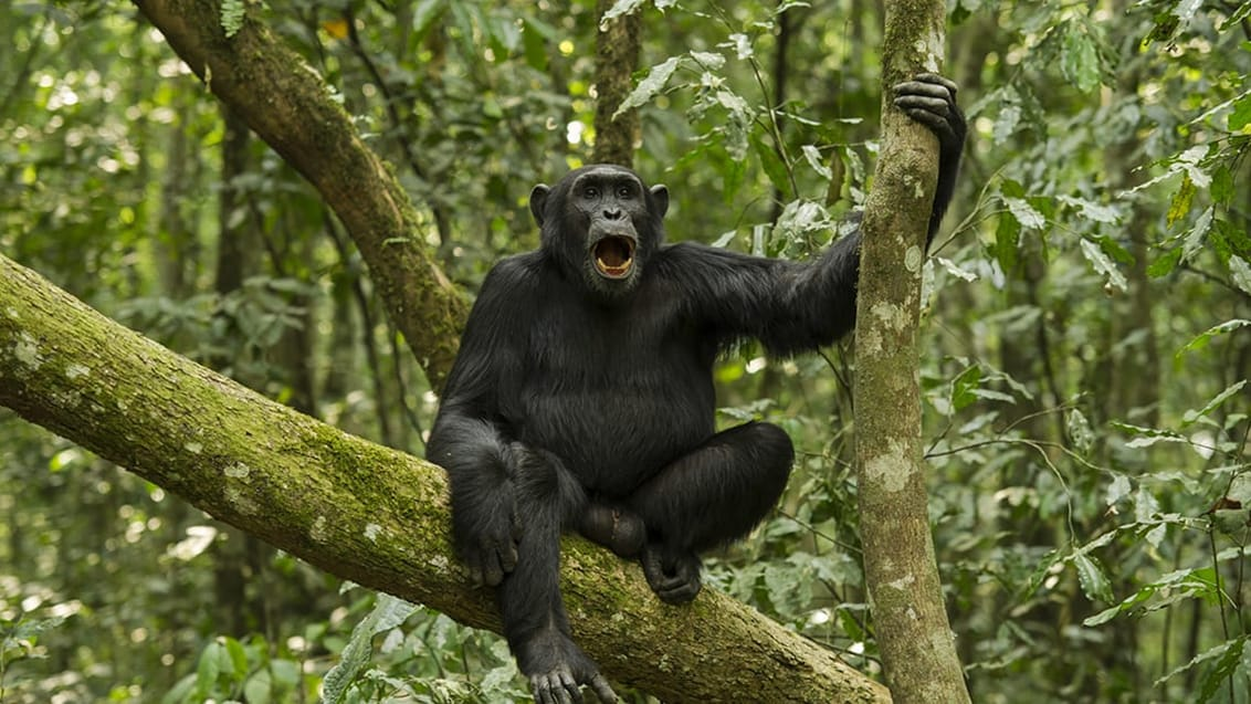 Chimpanse trek i Kibale nationalpark i Uganda