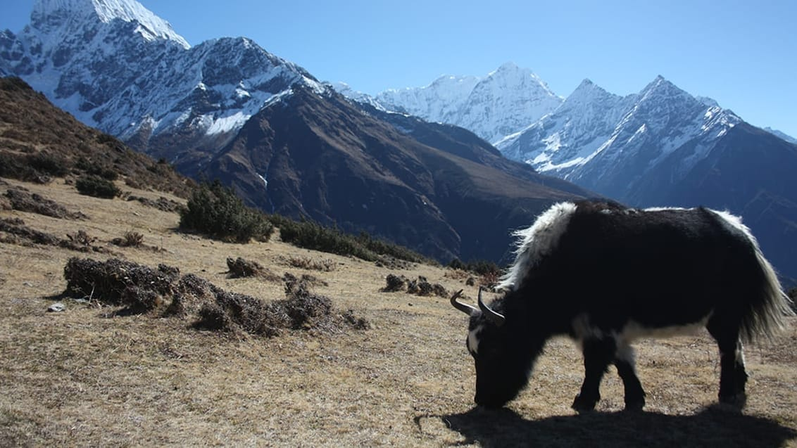 Græssende yak okse i Everest Nationalpark