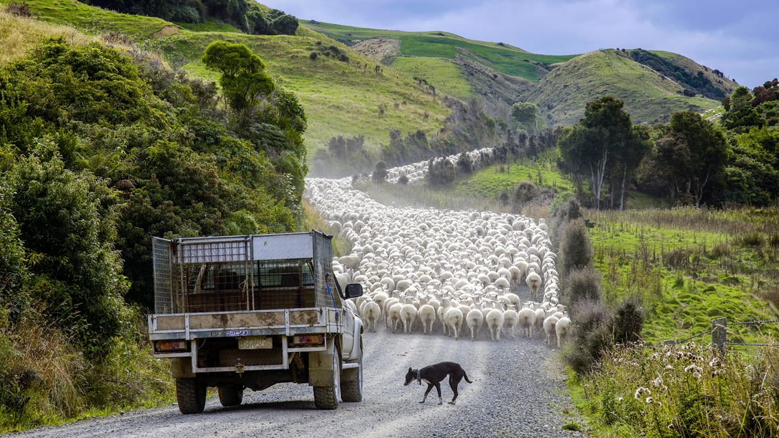 Working holiday, New Zealand