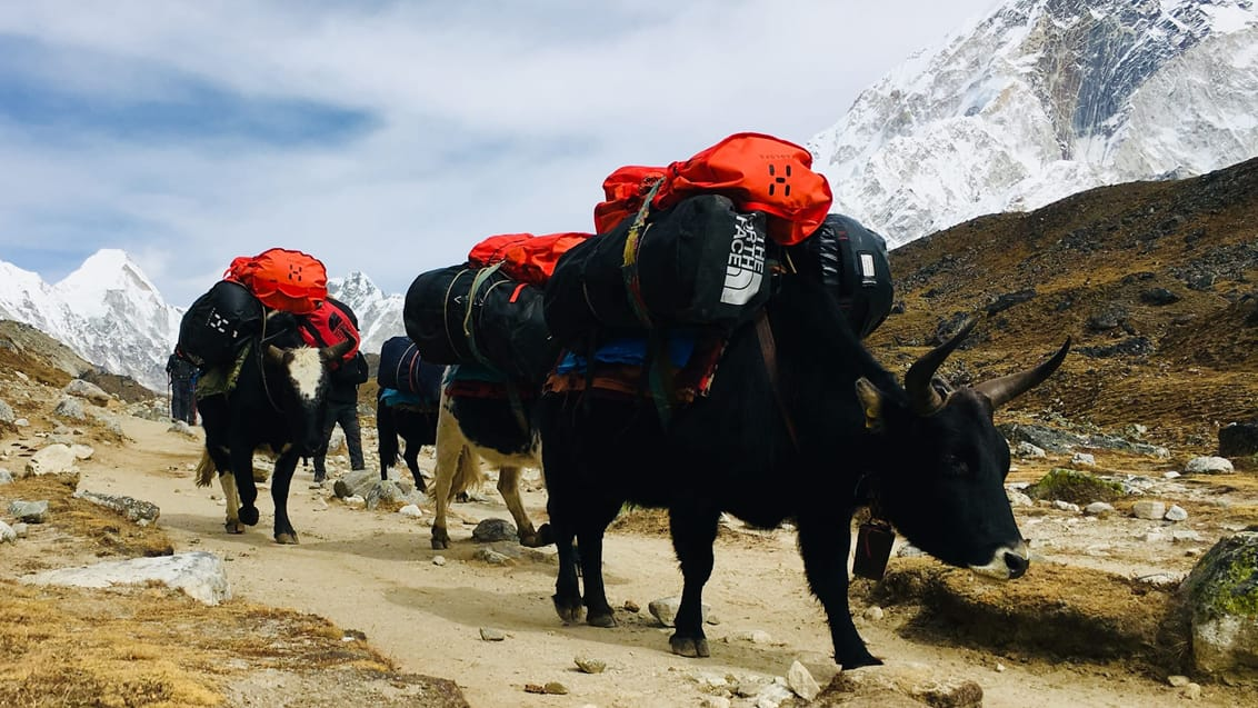 yak, everest